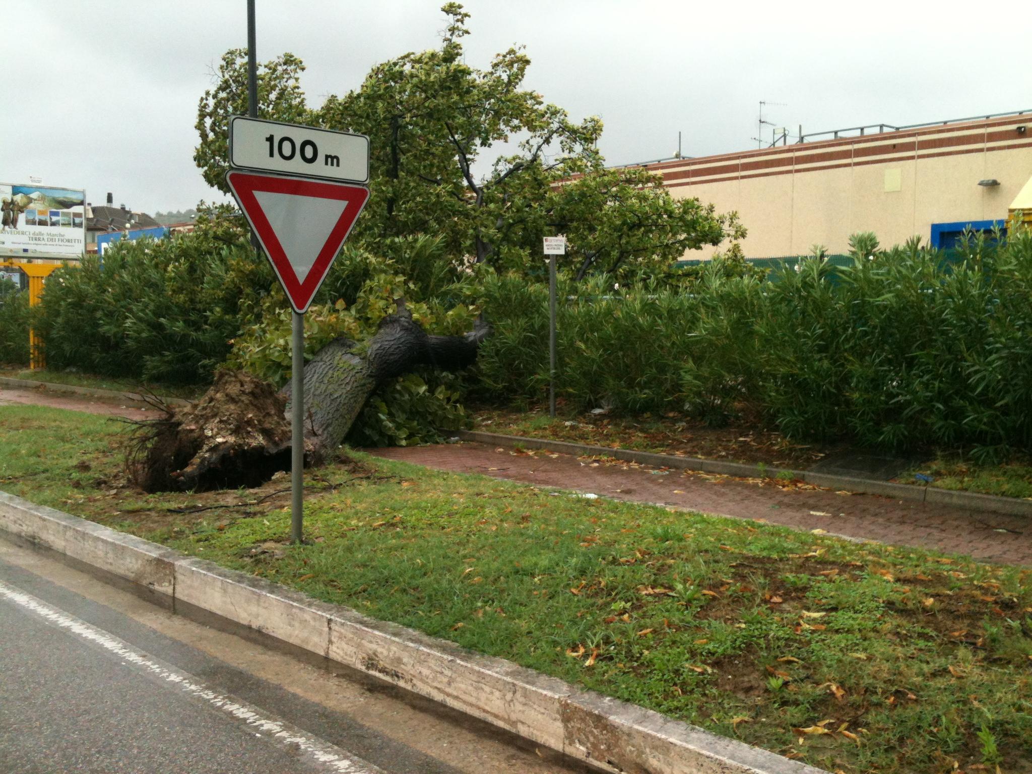 Tiglio caduto vicino Decathlon, 14 settembre 2012 (Andrea Falcioni)
