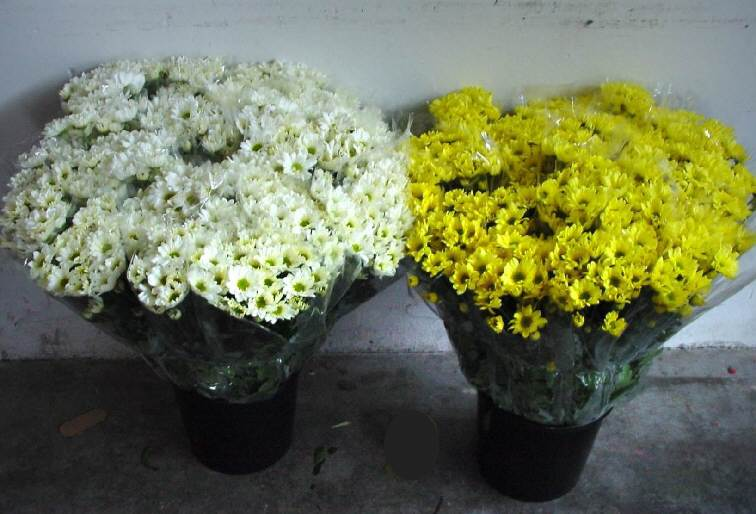 Crisantemi, nessun incremento