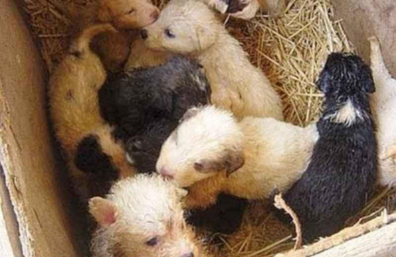 Traffico di cuccioli (fonte Google)
