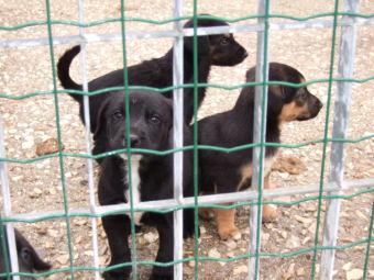Alcuni cuccioli del caniel