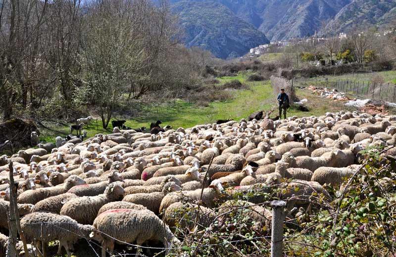 Un pastore con il suo gregge