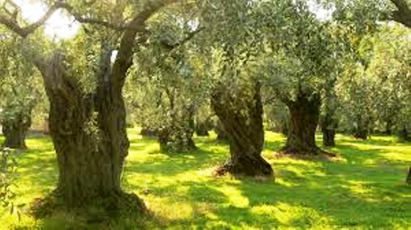 Olive google immagini