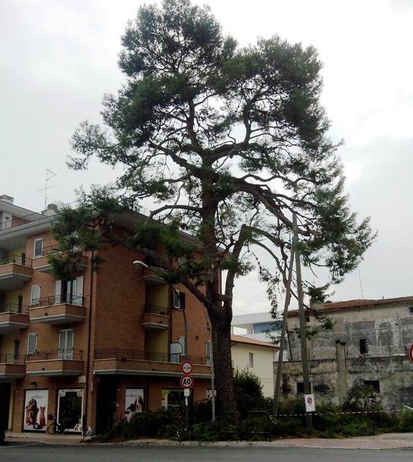 Il pino d'Aleppo in via Marche, alto 22 metri