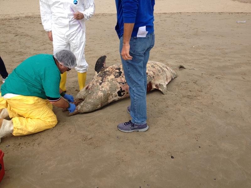 la carcassa del grosso mammifero marino