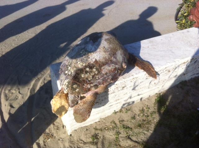 La tartaruga trovata morta nella spiaggia di Villa Rosa (foto di Luigi Galiffa)
