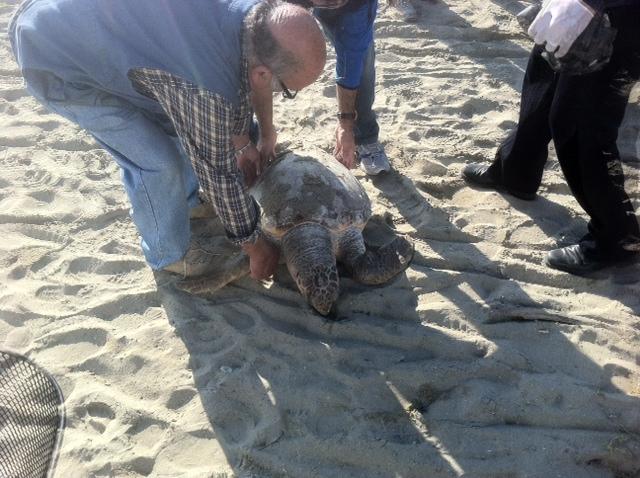 La tartaruga trovata morta nella spiaggia di Villa Rosa 2