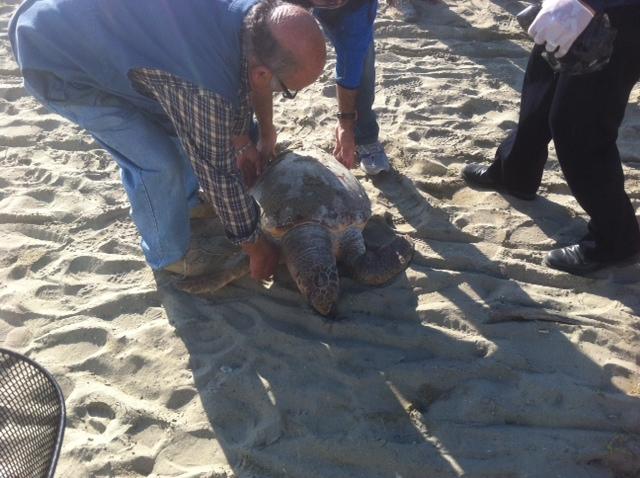 La tartaruga trovata morta nella spiaggia di Villa Rosa 1