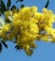 Mimosa dell'8 marzo