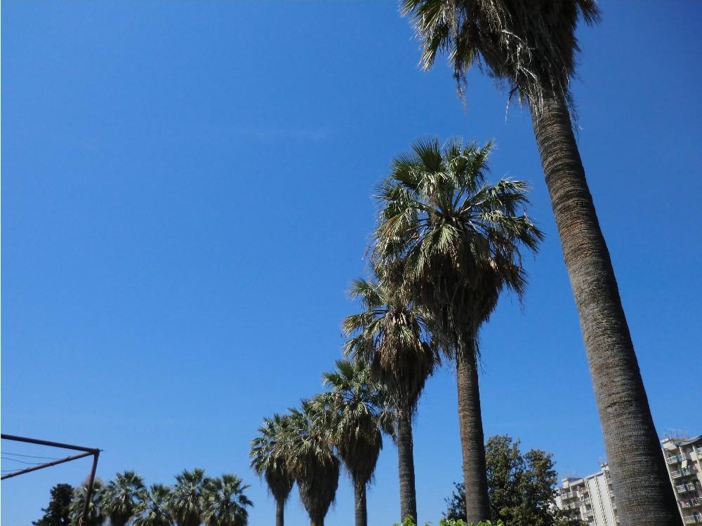 Riviera oggi si sostituiscono le palme morte del lungomare - Tipi di palme da giardino ...