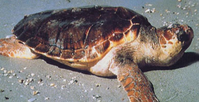 Un esemplare di tartaruga cretta caretta