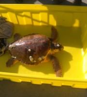 La tartaruga salvata