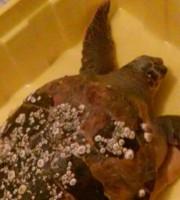 Tartaruga salvata il 2 febbraio