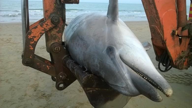 delfino di tre metri trovato morto a Tortoreto