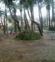 Pini caduti ammassati in pineta, maltempo marzo 2015