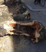 Via Ugo Bassi, le condizioni degli alberi abbattuti