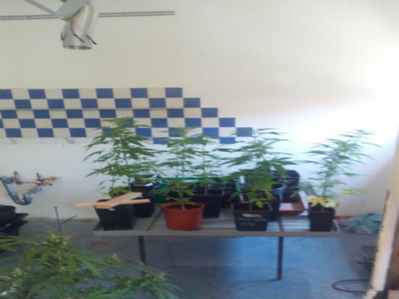 50 piantine di marijuana sequestrate dai carabinieri (foto dei Carabinieri di Fermo)