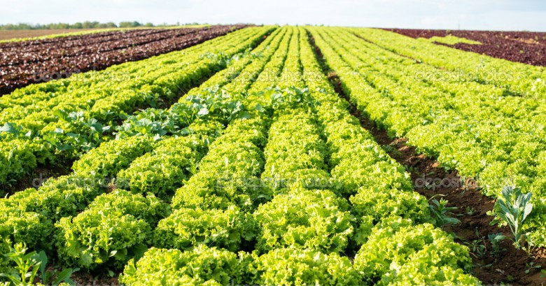 healthy green salad and red chicory grown in the fields
