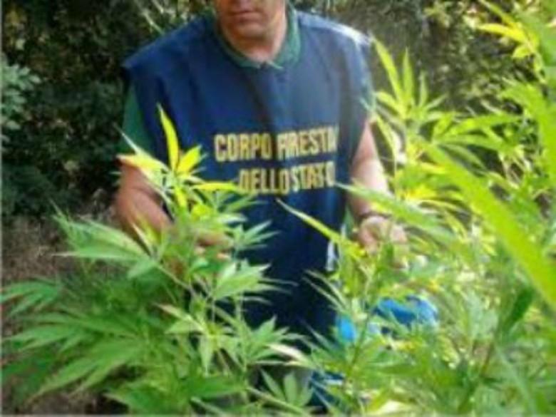Piantagione di Cannabis (foto tratta dal sito del Corpo Forestale)