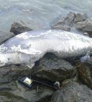 Delfino morto al Molo Sud, 28 settembre