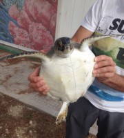 Tartaruga marina verde