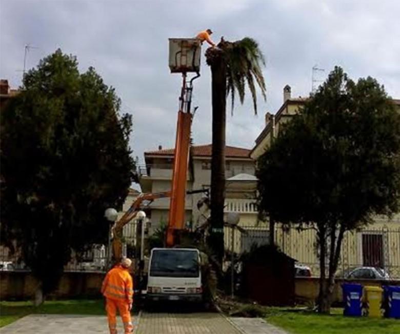 L'ultima palma del giardino comunale distrutta dal punteruolo rosso