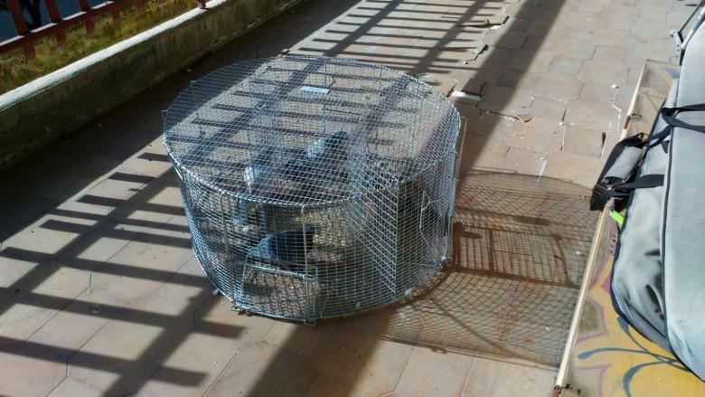 Gabbie mobili per catturare i piccioni