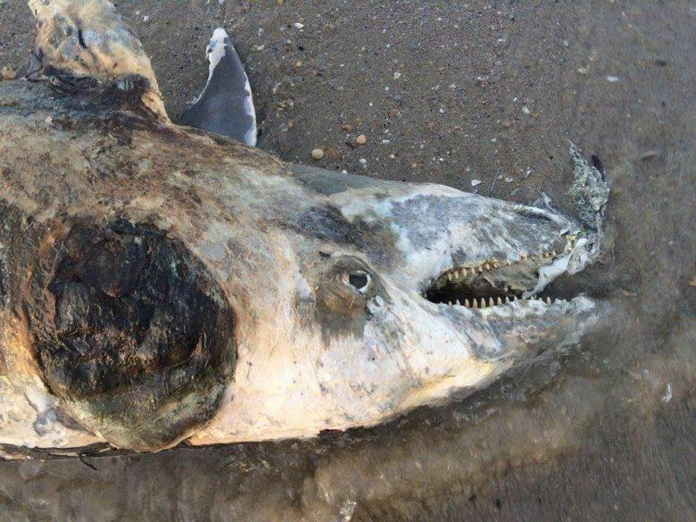 Carcassa di delfino a Martinsicuro, 10 maggio (foto di Matteo Bianchini)