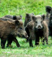 Cinghiali (foto tratta da strettoweb.com)