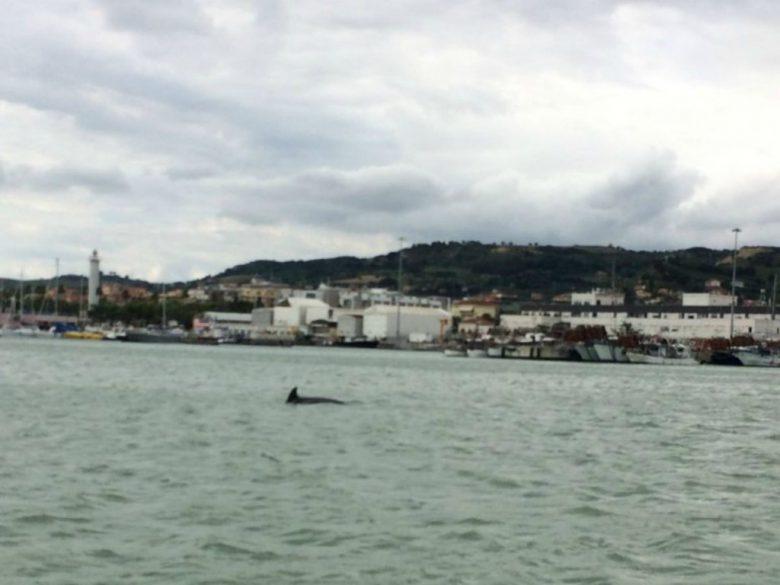 Delfino al porto, 11 agosto (foto tratta dalla pagina Twitter Guardia Costiera Sbt)