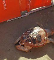 Tartaruga rinvenuta a San Benedetto del Tronto