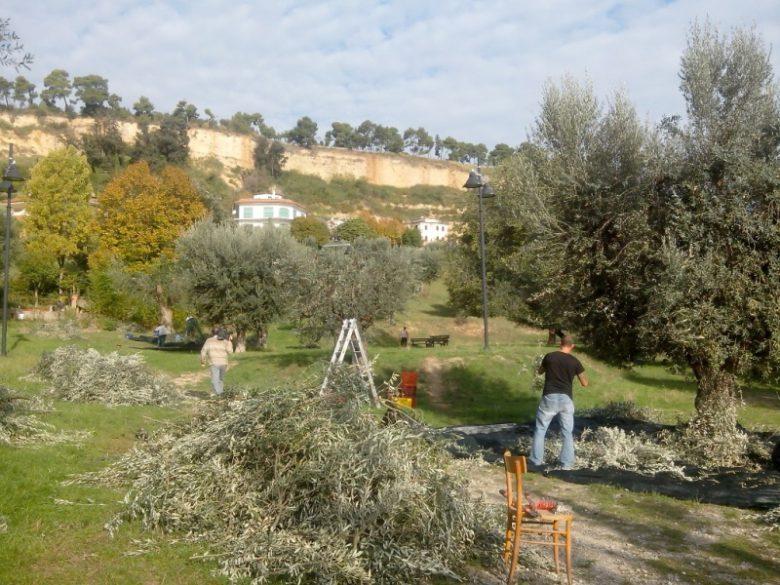 Raccolta olive Parco Madonnina