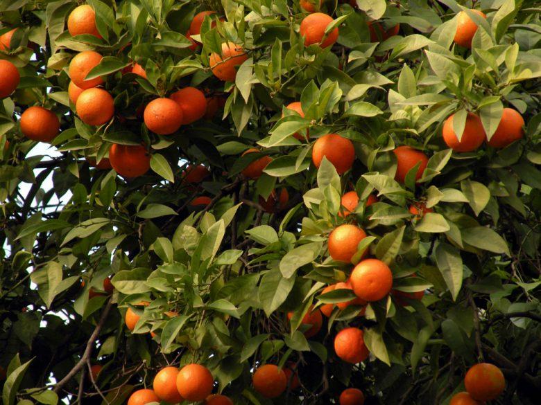 albero-di-arance-foto-tratta-da-mandarancia-it