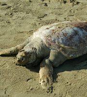 Tartaruga trovata a Grottammare, 8 ottobre