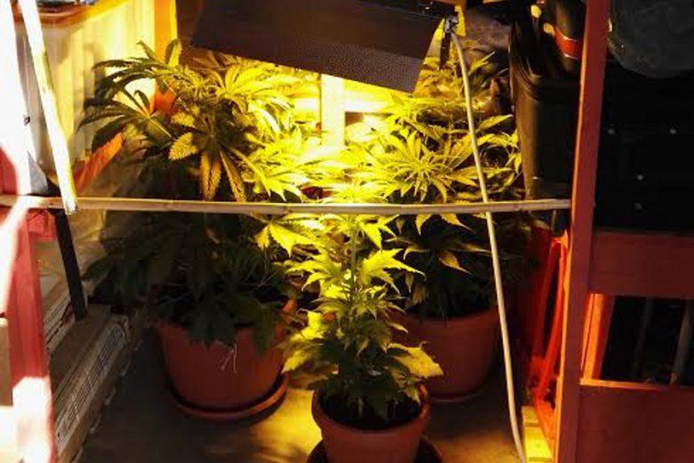 Le piantine di marijuana sequestrate