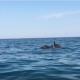 Delfini a largo della costa di San Benedetto