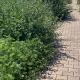 Zona Agraria, erba alta ai lati del marciapiede (1)